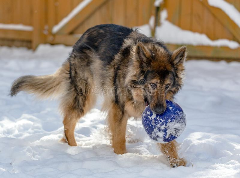 A happy dog carries a giant blue ball stock photography
