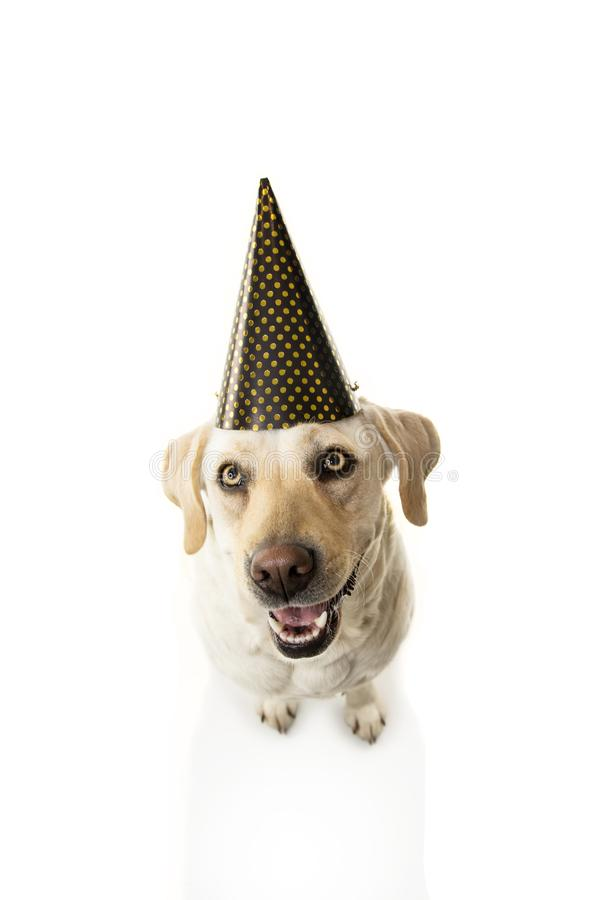 Happy dog celebrating new year, birthday or carnival party. Isolated on white background. From above royalty free stock photography