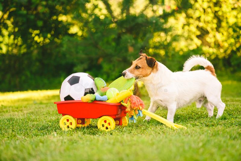 Happy dog chooses flying disc from cart full of dog toys. Jack Russell Terrier playing with plastic disc stock photography