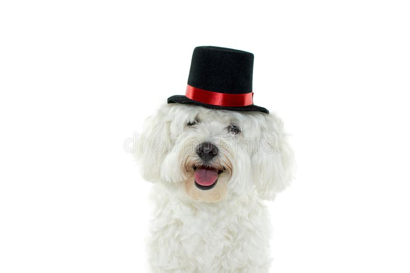 HAPPY DOG COSTUME MAGICIAN CELEBRATING HALLOWEEN. ISOLATED ON W stock photo
