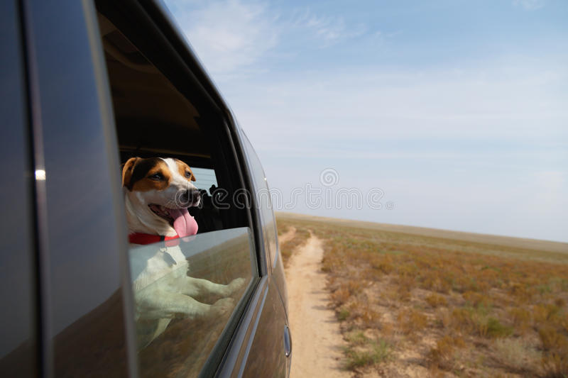 Happy dog in driving car stock photography