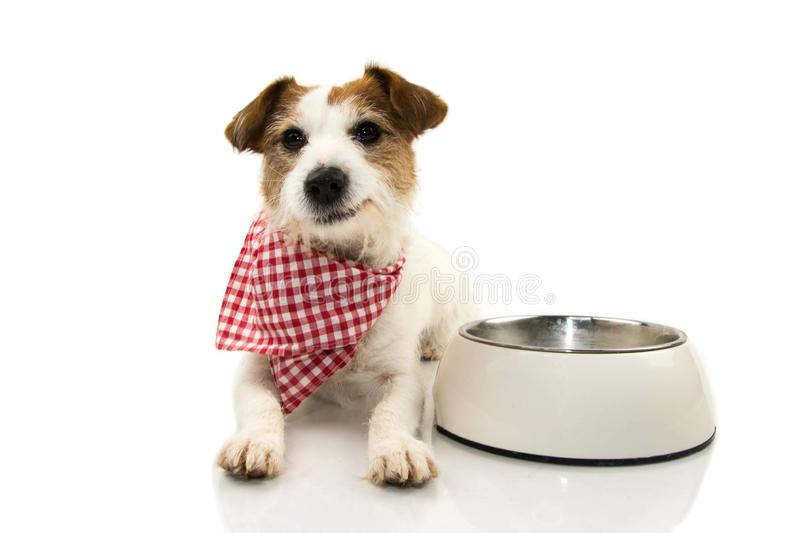 HAPPY DOG EATING FOOD. JACK RUSSELL SMILING WITH A CHECKERED NAPKIN LYING DOWN NEXT TO A EMPTY BOWL. ISOLATED SHOT AGAINST WHITE royalty free stock photography