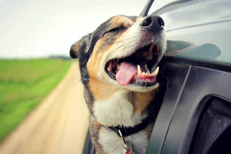 Happy Dog with Eyes Closed and Tounge Out Riding in Car. A happy German Shepherd mix breed dog is smiling with his tounge hanging out and his eyes closed as he stock photos