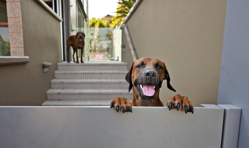 Happy dog at gate royalty free stock photography