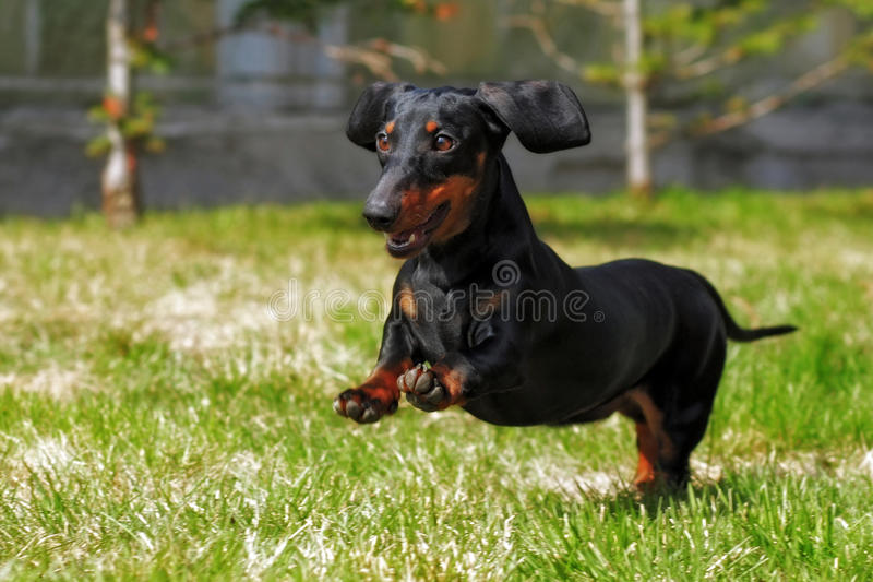 Happy dog German haired dwarf Dachshund playing in the back yard stock image