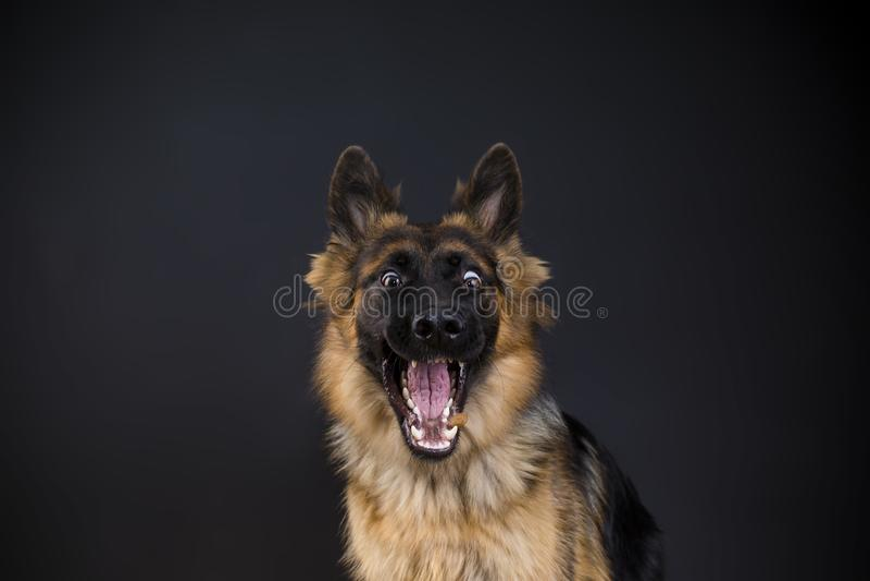 Download Happy Dog German Shepherd Catches Food Stock Photo - Image of food, happy: 117791062