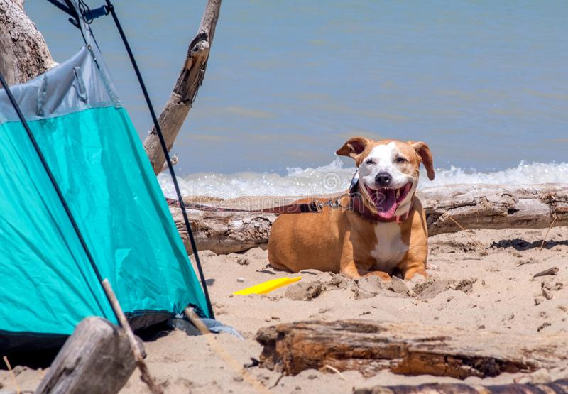 A happy dog guards the family tent royalty free stock photo