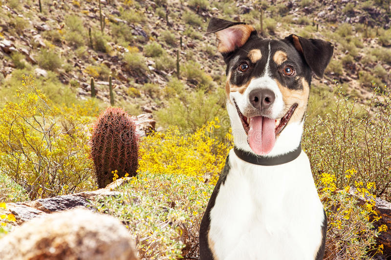 Happy Dog Hiking in Arizona Desert. Happy and smiling mixed breed dog on a hiking trail in the desert on South Mountain in Phoenix, Arizona USA royalty free stock image