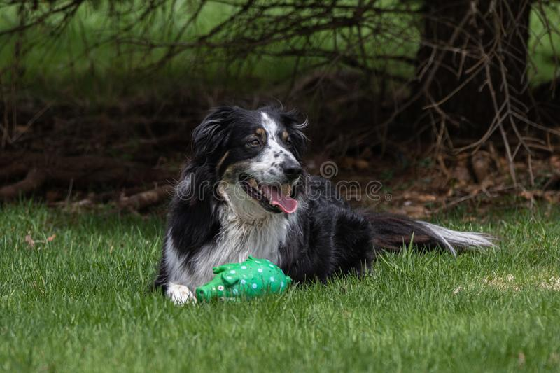 Happy dog in his yard. A collie shepherd mix sitting in his yard with his favourite toy stock photography