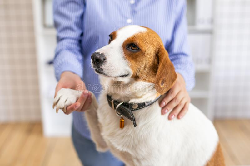 Happy dog with its owner in a veterinary clinic at the doctor`s office. Close up. Soft focus. Happy dog with its owner in a veterinary clinic at the doctor`s royalty free stock photography
