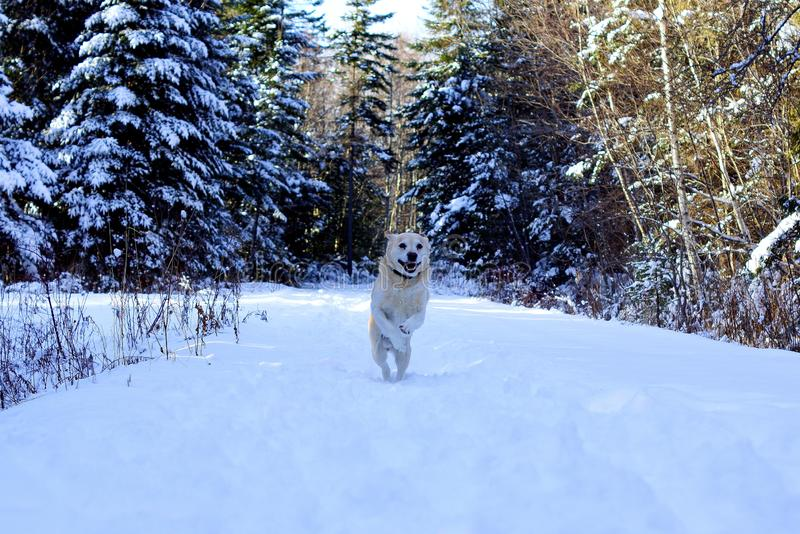Happy dog jumping in the snow royalty free stock photos