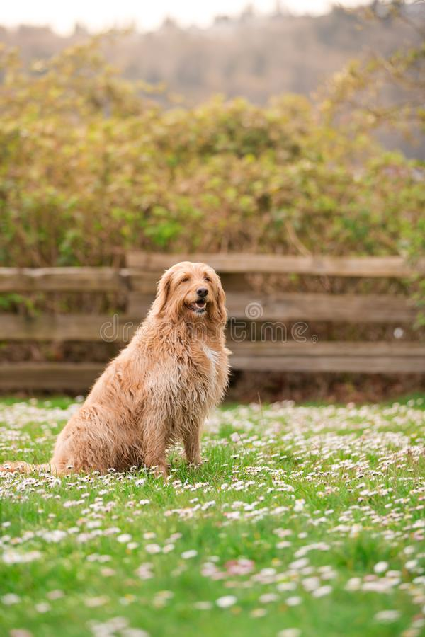 Happy dog lying down on grass. White labradoodle resting on green grass. Cute dog relaxing on backyard garden. White dog royalty free stock photos