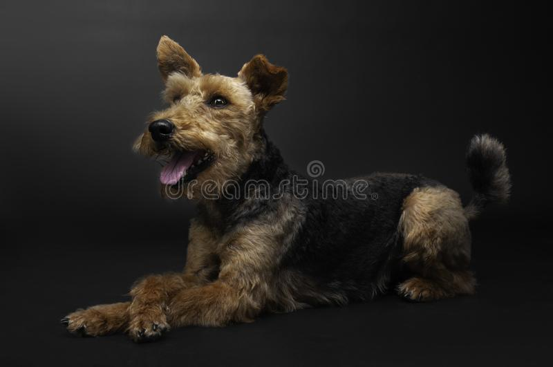 Happy dog is lying on the floor with crossed legs Welsh terrier stock photos