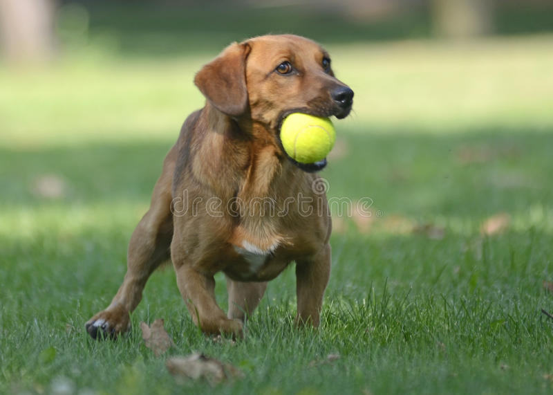 Happy dog playing with ball. A brown happy little dog is playing with a tennis ball in a green garden in a beautiful summer day