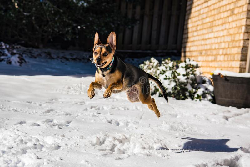 Excited Dog Puppy Jumping and Playing in the Snow royalty free stock photos