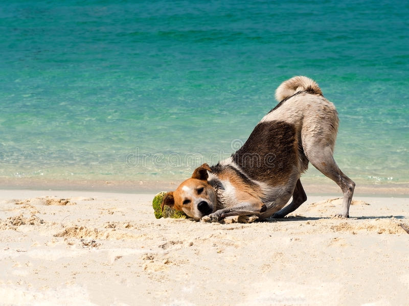 Happy dog put it head on sand beach with the beautiful sea background. Black and white funny dog playing on beach at sea in summer royalty free stock images