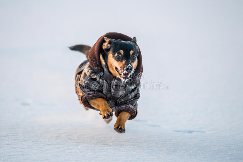 Happy dog run. Happy dog with clothes running in winter, amazing flying up in the air