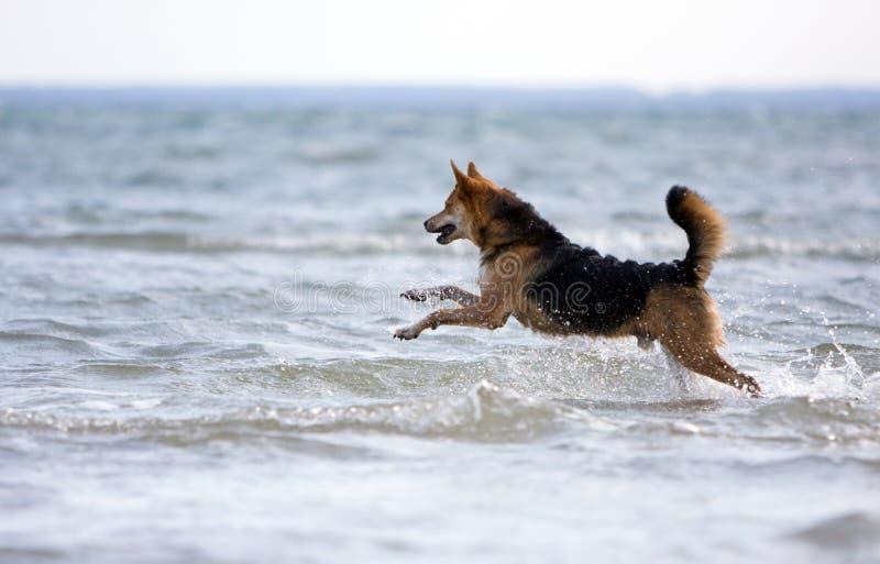 Happy dog running royalty free stock photography