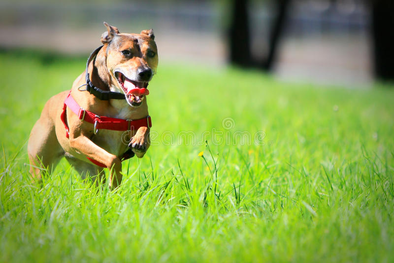 Download Happy Dog Running Through Green Grass. Stock Photo - Image: 13479032