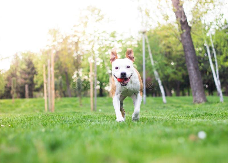 Happy dog running royalty free stock photo