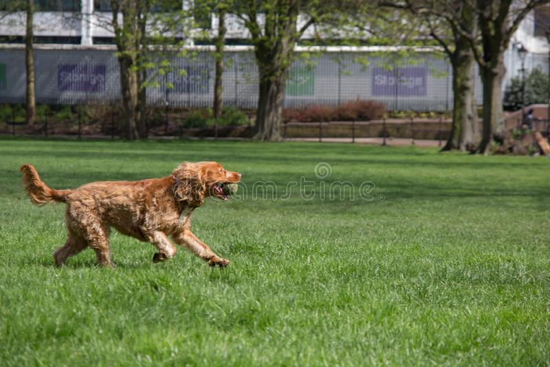 Happy dog running with a tennis ball royalty free stock photos