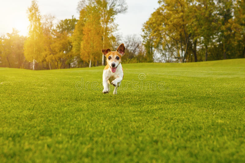 Happy dog running to you directly into the camera. Relaxed coutryside pleasant atmosphere. Natural green background. series of photos stock photo