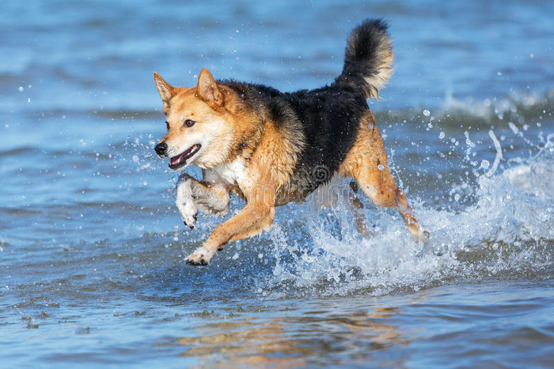 Happy Dog Running Through The Water On The Beach Stock Photo