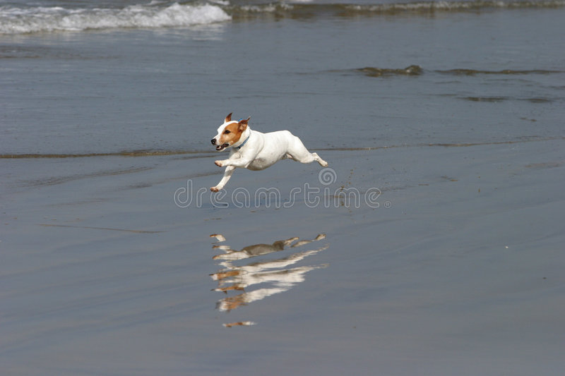 Download A Happy Dog Runs On The Beach Stock Image - Image: 2899623