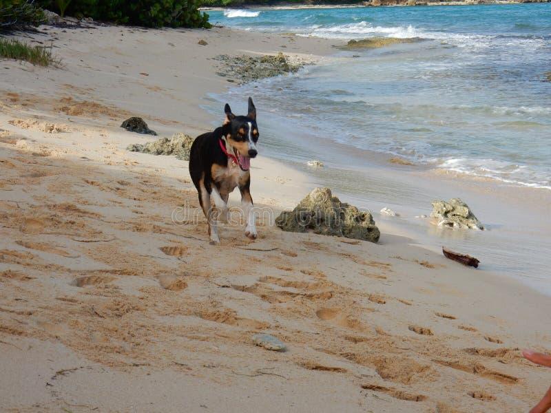 A happy dog runs on the beach stock photos
