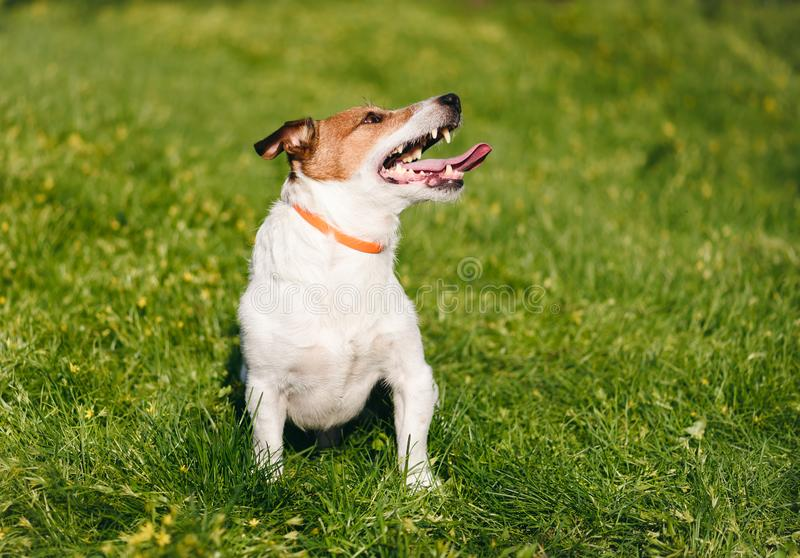 Happy dog safely playing on green grass wearing anti flea and tick collar during spring season royalty free stock images
