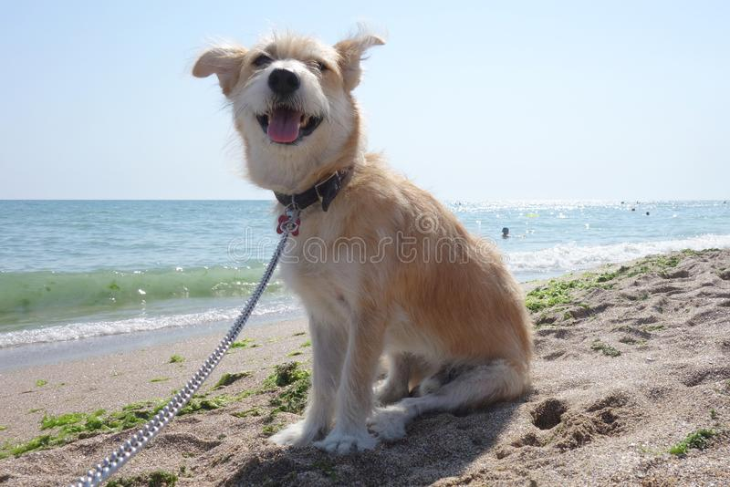 Happy dog sitting on beach. Beige crossbred dog sitting on sand on seashore in the sunlight in summer royalty free stock images