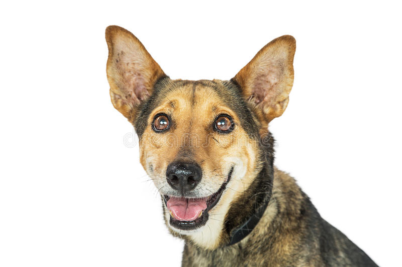 Happy Dog Smiling Isolated Closeup. Closeup photo of a shepherd and Corgi mixed breed dog with happy smiling expression royalty free stock photography