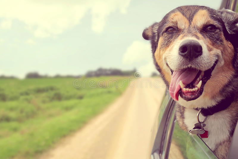 Happy Dog Sticking Head out Car Window. A happy German Shepherd Mix Breed Dog is hanging his tounge out of his mouth as he sticks his head out a car window while