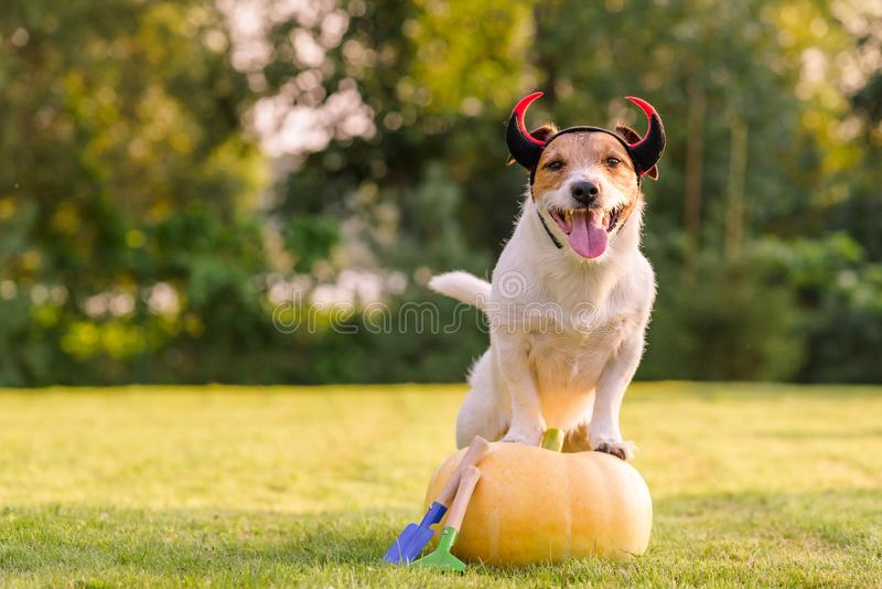 Happy dog wearing Halloween costume standing on pumpkin at lawn royalty free stock images