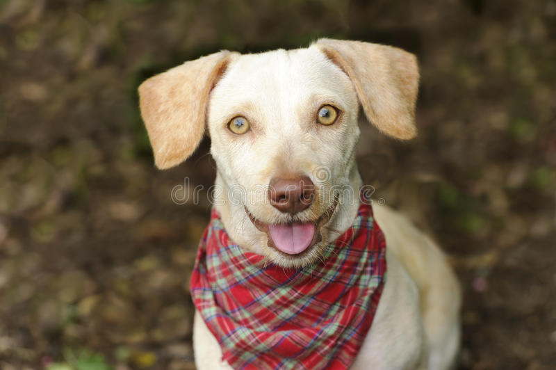 Happy Dog. Is a white happy looking dog with cute floppy ears and his adorable pink tongue and glowing brown eyes giving a great big smile to you stock images