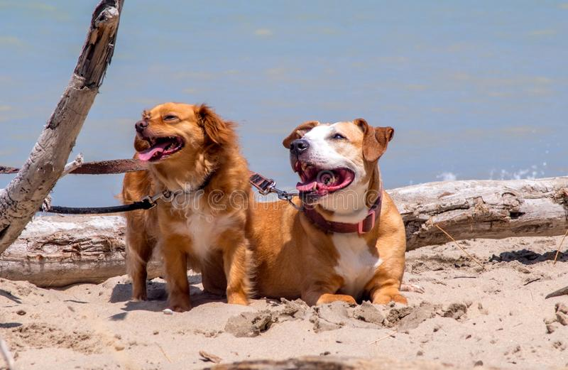 Happy dogs at the beach stock photo