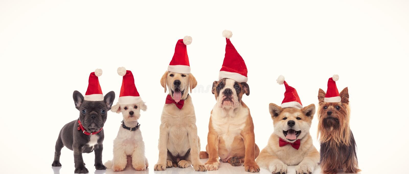 6 happy dogs celebrating christmas together. On white background royalty free stock photo