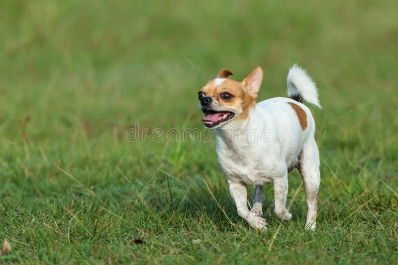 Happy dogs having fun running on the field.Chihuahua. stock image