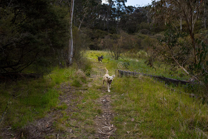 Happy Dogs Running on Forest Path royalty free stock image