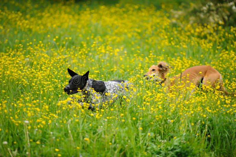 Happy dogs running through a meadow with buttercups royalty free stock images