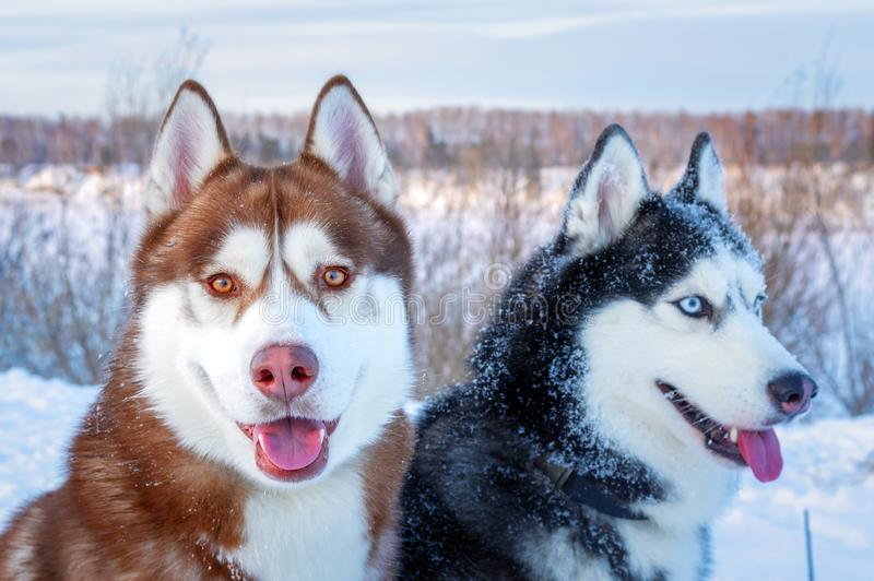 Happy dogs siberian husky. Closeup portrait. Funny snow Dogs face. stock photo