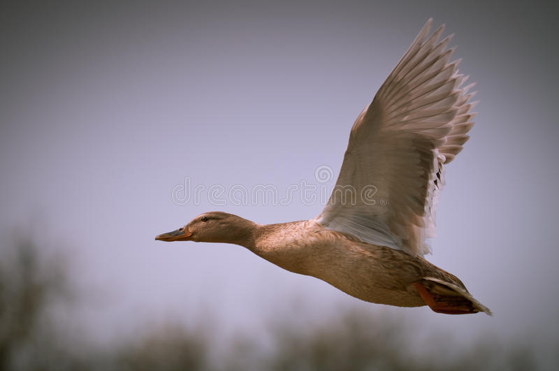Happy duck flying royalty free stock images