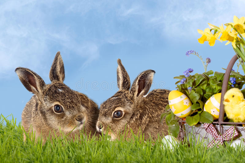 Happy Easter bunny. Two Easter bunny, young brown hare sitting in daffodils with blue sky stock images