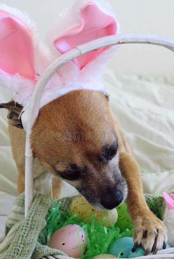409 Happy Easter Dog Bunny royalty free stock photo