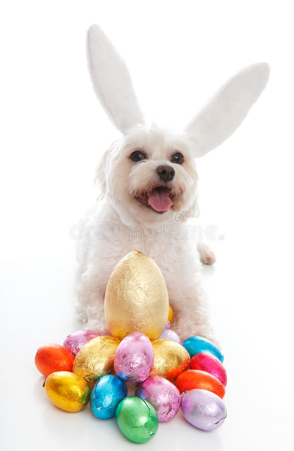 Happy Easter dog with bunny ears. A happy easter bunny dog with lots of easter eggs. White background stock photo