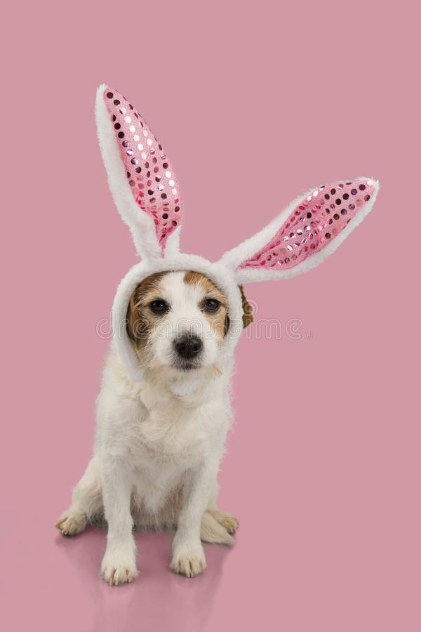 HAPPY EASTER DOG, JACK RUSSELL PUPPY DRESSED AS A BUNNY OR RABBIT, ISOLATED AGAINST PINK BACKGROUND.  royalty free stock photos
