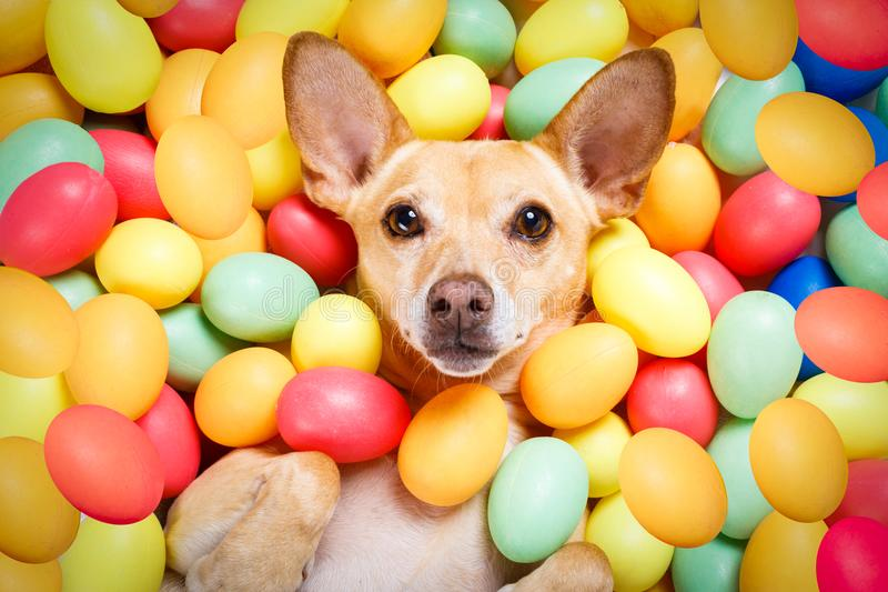 Happy easter dog with eggs royalty free stock photography