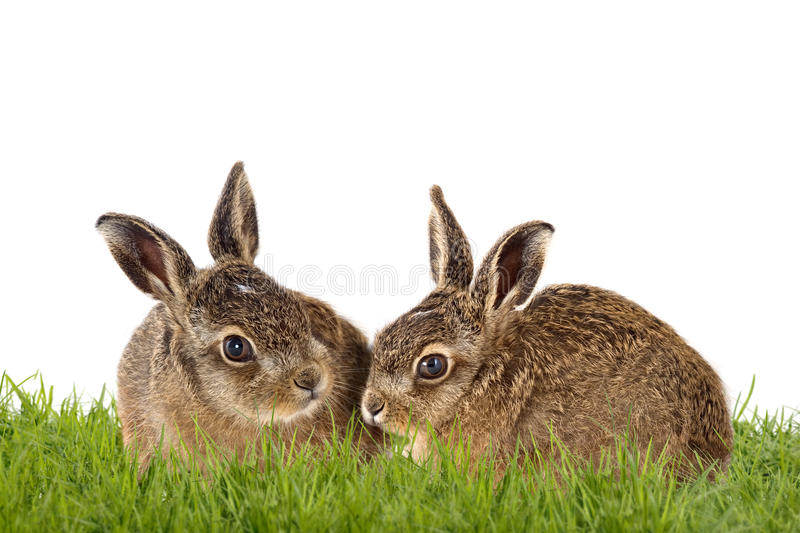 Happy Easter. Two Easter bunny, young brown hare sitting in grass, isolatet stock photos
