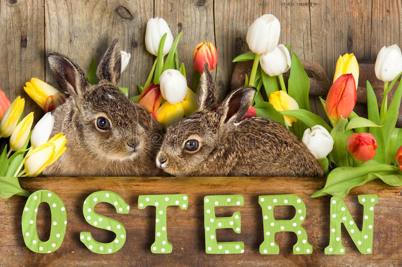Happy Easter. Two Easter bunny, young brown hare sitting in tulips stock photography