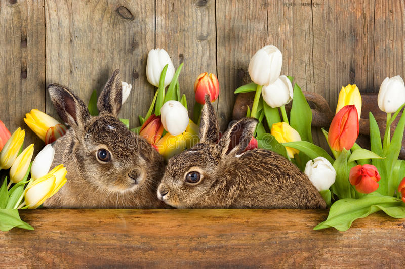 Happy Easter. Two Easter bunny, young brown hare sitting in tulips royalty free stock photo